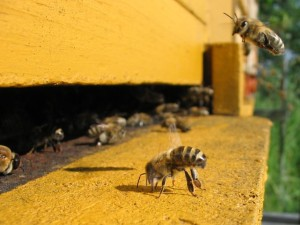Bees at the entrance of a beehive story image