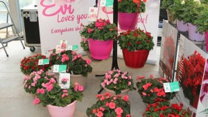 Begonia Evi Pink and Evi Bright Pink