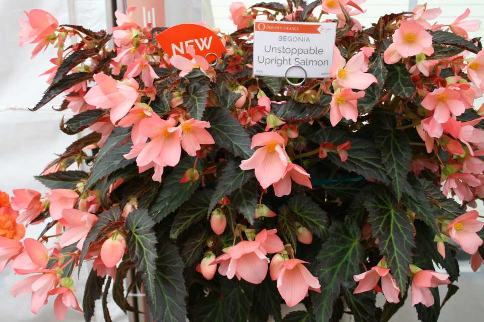 Begonia Unstoppable Upright Salmon