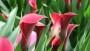 CallaFornia Red