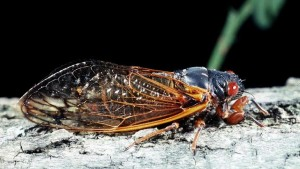 Cicadas Set To Emerge In Several Eastern States This Spring