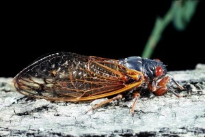Cicada (Greg Hoover, Penn State)