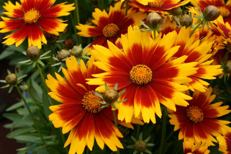 Coreopsis 'Uptick Gold and Bronze' (Darwin Perennials)