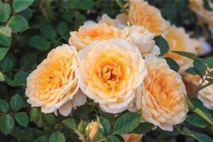 Ediths Darling (Weeks Roses)