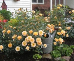 Flower Carpet (Tesselaar Plants)