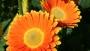 Garvinea Gerbera Sweet Caroline (Florist Holland)