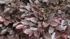 7 New Shrubs And Foliage Plants For Spring Interest