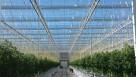 Houweling's Tomatoes' Mona Greenhouse