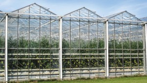 Natural Ventilation In A Venlo type greenhouse