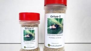 Beneficial Insectary Orius insidiosus
