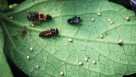 Parasitized aphid mummies, ladybird beetle larvae