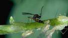 Parisitic Wasp Aphidius colemani
