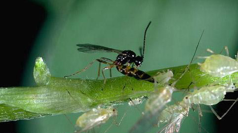 Plant Growth Regulator Use Can Affect Biological Pest Control