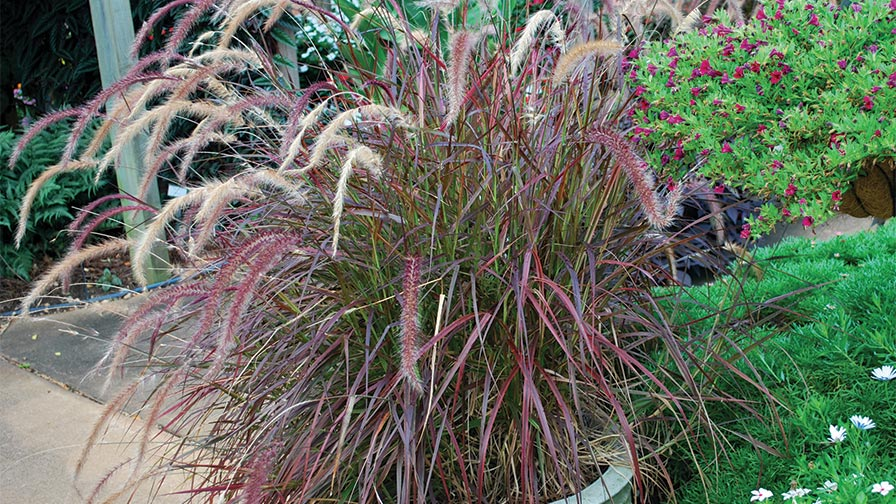 Why ornamental grasses are great for people in condos and for Variegated ornamental grass varieties