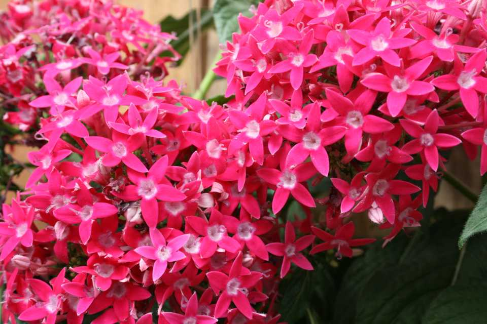 Pentas 'Honey Cluster Deep Rose' (Syngenta Flowers)