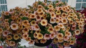 Dümmen Orange Presents Its Impressive Annuals Collection At Edna Valley