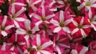 Petunia 'Amore Mio' (Danziger)
