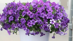 Growing Tips On Petunia 'Night Sky' From Dan Chaney At Ivy Acres