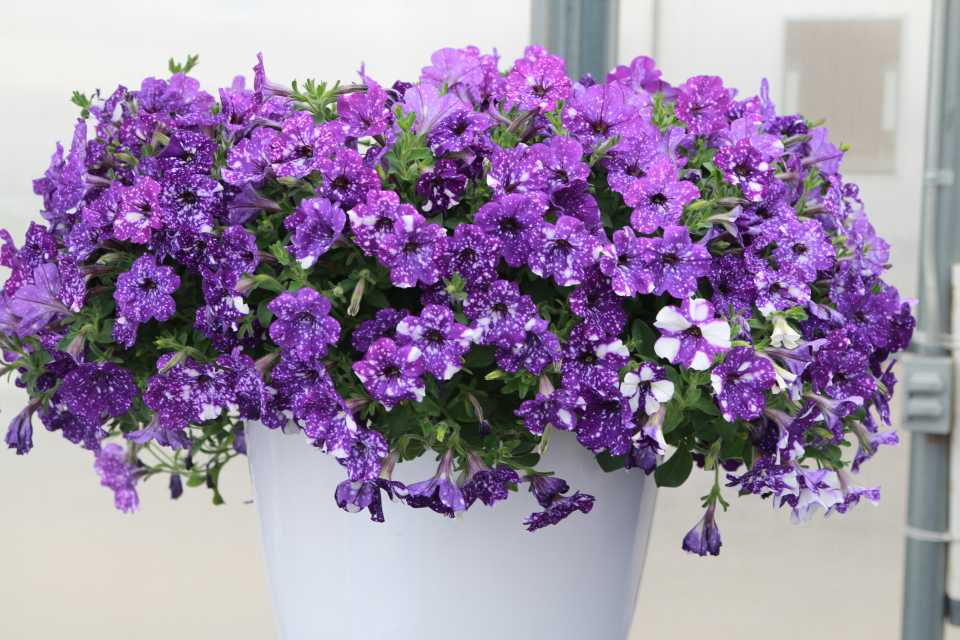 Growing Tips On Petunia Night Sky From Dan Chaney At Ivy Acres Greenhouse Grower