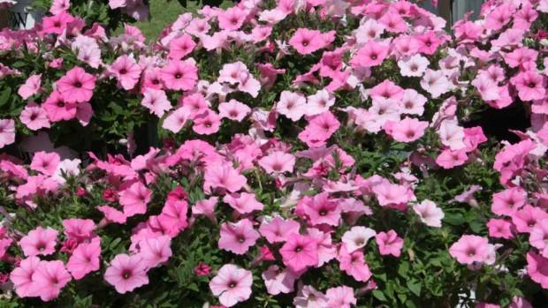 Petunia Vista Bubblegum (Proven Winners)