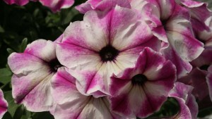 Pacific Plug & Liner Features Plenty Of New Varieties And Growing Resources During Spring Trials