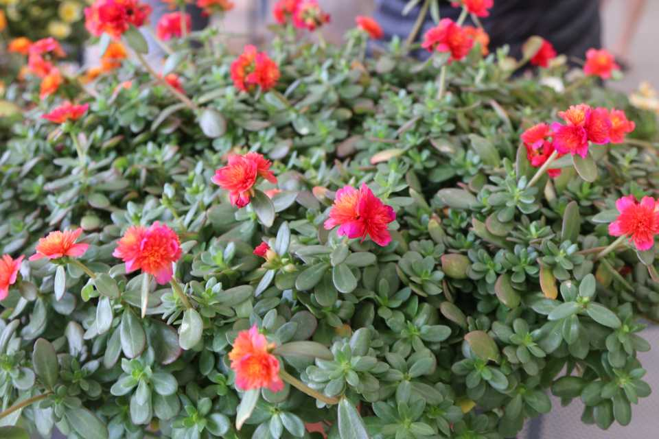 Portulaca ColorBlast Series