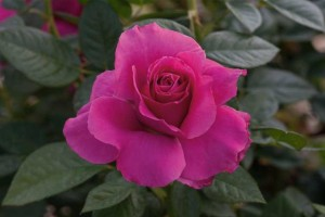 Pretty Lady Rose (Weeks Roses)