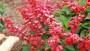 Salvia Saucy Red (Kientzler)