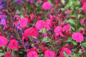 Salvia greggii 'Mirage Neon Rose' (Darwin Perennials)