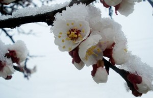 Snow on fruit tree blossoms FEATURE