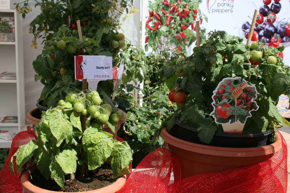 Sturdy Jo Tomatoes (Prudac)