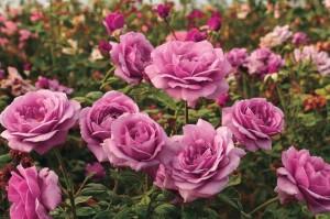 Sugar Plum Hybrid Tea Rose (Jackson & Perkins)