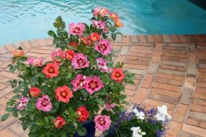 Sweet Spot Shrub Rose (Tesselaar Plants)