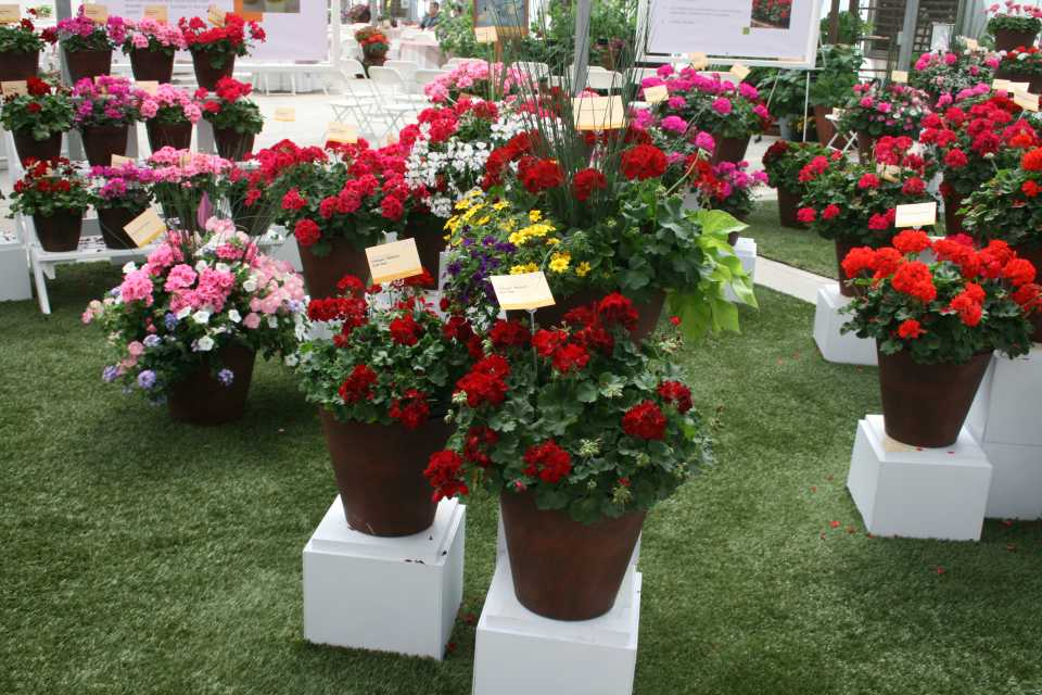Syngenta flowers opens its perennial genetics to the market and geraniums mightylinksfo