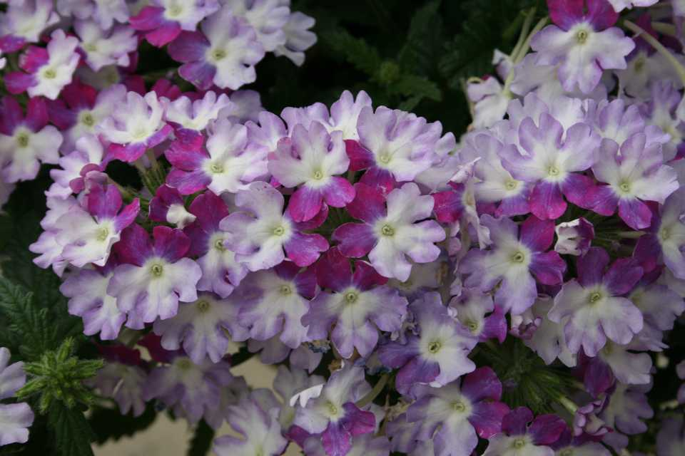 Dr Allan Armitage Highlights His Favorite Varieties From