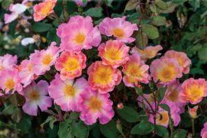 Watercolors Home Run (Weeks Roses)