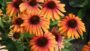 Echinacea 'Butterfly Rainbow Marcella'