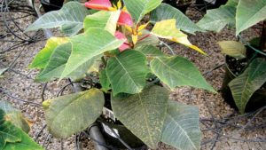 Stained poinsettia foliage from high iron