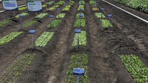 California Summer Vegetable Trials In August Will Cover A Wide Range Of Crops