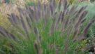 Pennisetum alopecuroides 'Ginger Love' (Aris Greenleaf Plants)