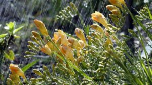 rain on flowers weather FEATURE