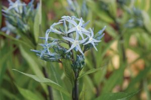 Amsonia Short Stop from Intrinsic Perennials