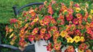 Calibrachoa Chameleon Sunshine Berry (Westflowers) - Feature