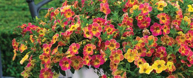 Calibrachoa Chameleon Sunshine Berry (Westflowers) - Feature