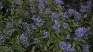 Caryopteris 'Beyond Midnight Bluebeard'