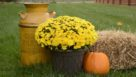 Chrysanthemum 'Stephany Yellow'
