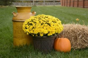 Chrysanthemum 'Stephany Yellow'