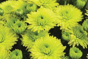 Chrysanthemum Key Lime (Ball Ingenuity)