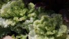 'Nagoya' Flowering Kale (Sakata Ornamentals)