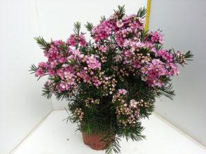 Nir Nursery Wax Flower Pot Plant